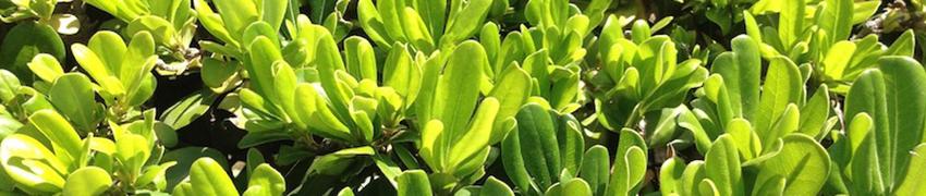 Häckväxter - sorter