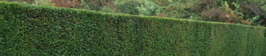 Idegran – en mångsidig häckväxt