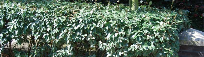 Köp silverbuske online