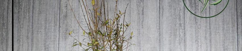 Köp vintergrön liguster online