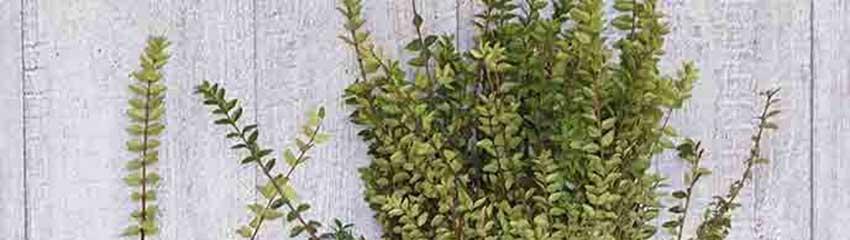 För- och nackdelar med Lonicera nitida som alternativ till buxbom