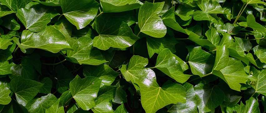 Plantering av murgröna