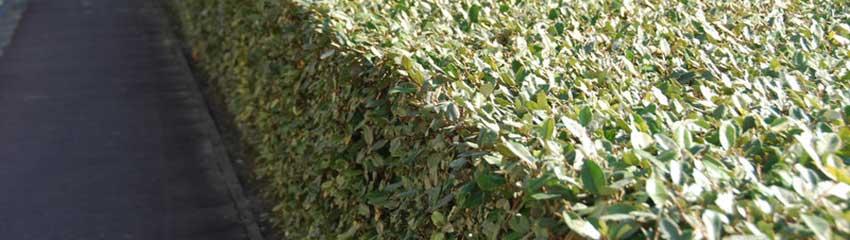 Silverbuske som häck