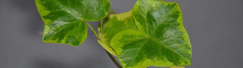 När skall man plantera murgröna?