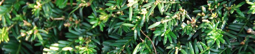 Skötsel av häckväxter