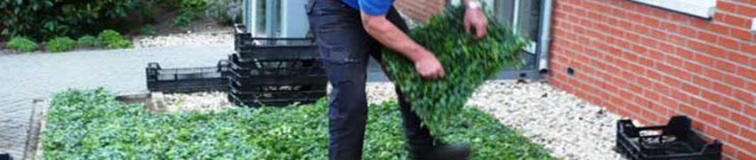 Städsegröna marktäckare