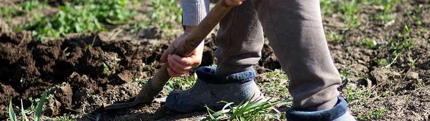 Extra tips vid plantering av japansk järnek