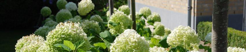 Vidjehortensia - om du gillar blommor