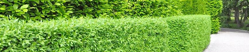 Vintergrön liguster