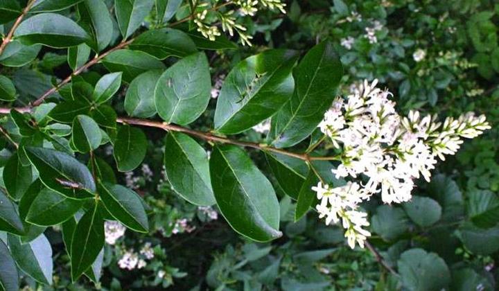Blommande ligusterhäck