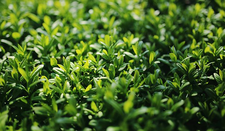 Planteringsläge och jordtyp – liguster